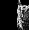 Screech Owl by Malcolm MacGregor