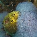 Sea Anemone On Pedernales Wreck In Aruba by Bob Hahn