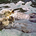 Sea Otters Holding Hands by BuffaloWorks Photography