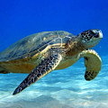 Sea Turtle Blue by Peter Oconor
