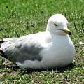 Seagull by Hugh Kroetsch