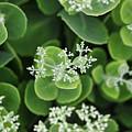 Sedum Pre-bloom by Shari Jardina