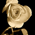 Sepia Antique Rose by M K  Miller