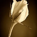 Sepia Rose Bud by M K  Miller