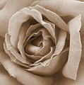 Sepia Rose by Carol Groenen
