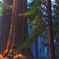 Sequoias On Blue by Kenneth Sponsler