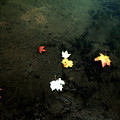 Seven Leaves At The Pond's Edge by Steven Geer