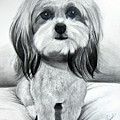 Shih Poo Graphite by Chrissie Leander