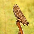 Short Eared Owl by Dennis Hammer