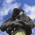 Siamang Gibbon by Keith Lovejoy