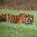 Siberian Tiger Checking Scent by Daniel Earnhardt