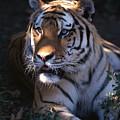 Siberian Tiger Executive Portrait by John Harmon