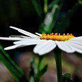 Side Of A Daisy by Matthieu Russell