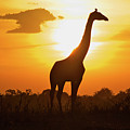 Silhouette Giraffe At Sunset by Joost Notten