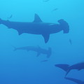 Silhouette Of Scalloped Hammerhead Sharks by Sami Sarkis