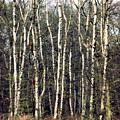 Silver Birch Trees by Daniel Blatt