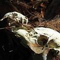 Skulls by Michael Dillard