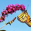 Skylands Monarch by Tom LoPresti