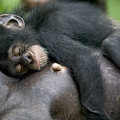 Sleeping Baby Chimpanzee by Cyril Ruoso