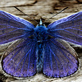 Small Blue Butterfly On A Piece Of Wood In Ireland by Pierre Leclerc Photography