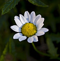Small Daisy by Svetlana Sewell