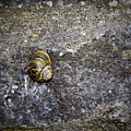 Snail At Ballybeg Priory County Cork Ireland by Teresa Mucha