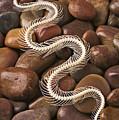 Snake Skeleton  by Garry Gay