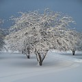 Snow-covered Apple Tree by Erica Carlson