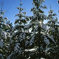 Snow-covered Pine Trees by Taylor S. Kennedy