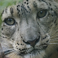 Snow Leopard 10 by Ernie Echols