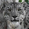 Snow Leopard 5 Posterized by Ernie Echols