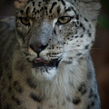 Snow Leopard by Roger Mullenhour