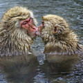 Snow Monkey Kisses by Michele Burgess