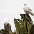 Snow Owls Of Boundary Bay by Pierre Leclerc Photography