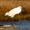 Snowy Egret 1 by J M Farris Photography
