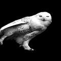 Snowy Owl by Malcolm MacGregor