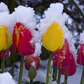 Snowy Tulips by Louise Magno