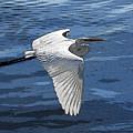 Soaring Egret by David Lee Thompson