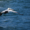 Soaring Pelican by Donna Proctor
