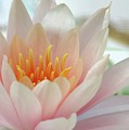 Soft And Delicate Water Lily by Sabrina L Ryan
