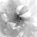 Soft White by Marna Edwards Flavell