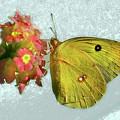 Southern Dogface Butterfly Feasting On December Lantanas Austin V2 by Felipe Adan Lerma