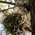 Spanish Moss I by Mary Haber