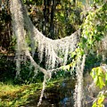 Spanish Moss Over The Swamp by Carol Groenen