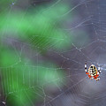 Spider In Web by David Arment