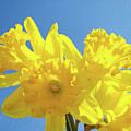 Spring Daffodils Flowers Garden Blue Sky Baslee Troutman by Baslee Troutman
