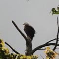 Spring Eagle II by Daniel Henning