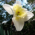Spring's First Daffodil 3 by J M Farris Photography