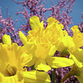 Springtime Yellow Daffodils Art Print Pink Blossoms Blue Sky Baslee Troutman by Baslee Troutman