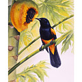 St. Lucia Oriole And Papaya by Christopher Cox